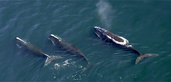 Last of the Right Whales Trailer